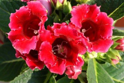 Растение глоксиния уход размножение