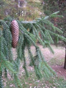 сибирская ель